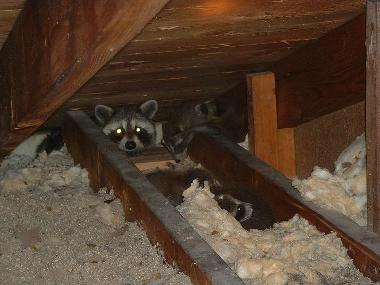 Aliens In The Attic We Can Keep Critters Out Of Your